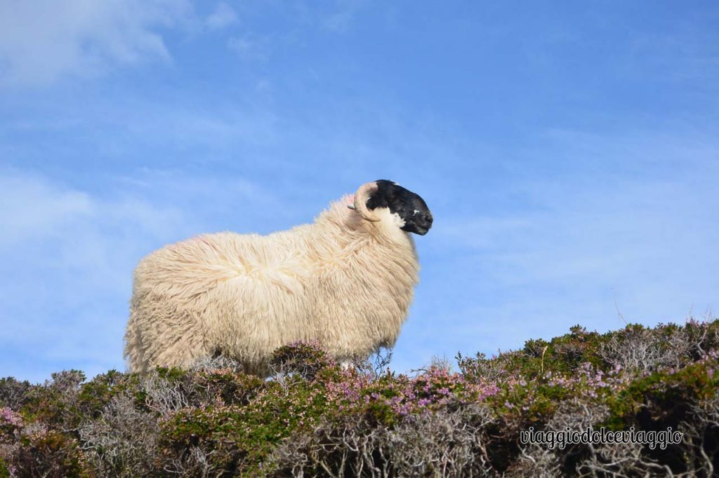 Slieve League, Donegal, pecore irlandesi