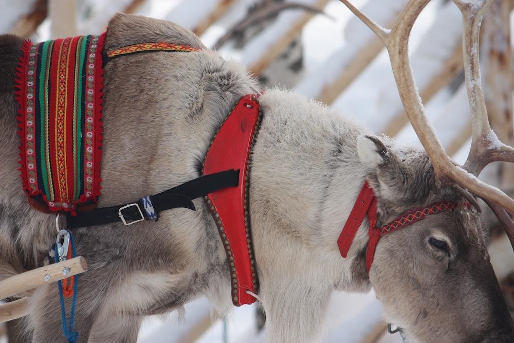 renna Rovaniemi
